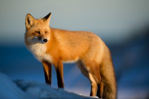 picture of red fox standing in snow looking off camera
