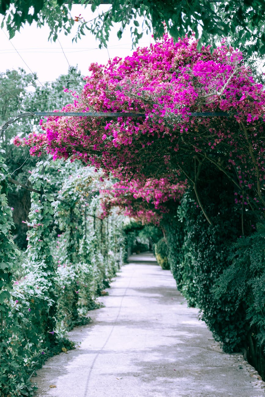 blooming great bougainvillea growing in garden near arched alley